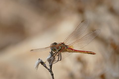 Red-Veined Darter - Sympetrum fonscolombii, Male (murrayN) Tags: cyprus dragonfly odonata sympetrum sympetrumfonscolombii darter redveineddarter souni