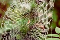 On the web (SimonLea2012) Tags: thread silk lines design natureperfection outdoor life home morning water droplets animal arachnid season autumn westmidlands warleywoods woodland mist nature spider cobweb web