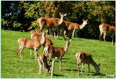 Un levage de cerfs dans le canton de Fribourg en Suisse - A animal husbandry of deer in the canton of Fribourg in Switzerland (Jogabi - Michle) Tags: daim cerf sunrays5 ngc coth5