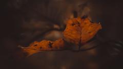 Herbstfarben (Sascha Wolf) Tags: herbst autumn blatt buche orange nikon baum wald schnbuch flickr friday autumnleaves
