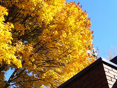Bright tree (Robbie1) Tags: fall connaught weathervane leaves yellow sun tree