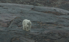 Polar Bear and Cub   Baffin Island (dr brewbottle) Tags: polarbear bear cub baffinisland arctic