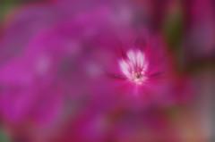 Geranio (hequebaeza) Tags: geranio geranium ptalos petals nikon d5100 nikond5100 tubosdeextensin ebcfujinon1450mm macro hequebaeza