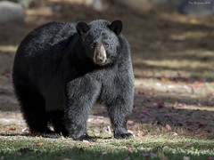 A very healthy-looking bear (wandering tattler) Tags: wildlife fauna animal mammal bear carnivore ursa blackbear newhampshire 2016