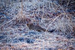 DSC07365-2 (sharon.verkuilen) Tags: zambia animal mongoose