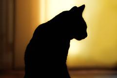 Queen of the world (simonpe86) Tags: shadow profil cute niedlich cat kontrast seitenansicht seite contrast silhouette profile gelb sss black katze yellow schwarz sideview sss