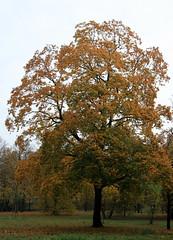 045-IMG_6649 (hemingwayfoto) Tags: ahorn baum englischergarten flickr georgengarten hannover herbst herbstbaum herbstlaub herrenhusergrten landeshauptstadt landschaftsgarten park