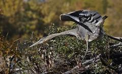 Stretch session (Jeannine St. Amour) Tags: bird heron greatblueheron nature wildlife