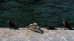 Bird (briantolin) Tags: santamonica california losangeles bird water wildlife
