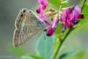 Long-tailed blue (Yorkey&Rin) Tags: 10月 2016 autumn bushclover butterfly japan kanagawa longtailedblue neighborhood october olympus pa160002 rin sh2 ウラナミシジミ 近所の花壇 秋 萩 ngc npc
