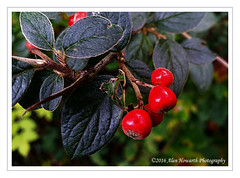 033 Winter Berries (Alan Howarth Photography) Tags: berries tree bush closeup macro s5 phone devon plymouth © alanhowarthphotography leaves green red