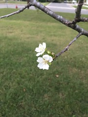 Peculiar weather we're having (cliffordswoape) Tags: unusually weather usa woodbury tree bloom tennessee october cherryblossom autumn
