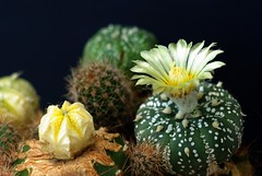 Astrophytum asterias cv. Kabuto IMGP0342 res (macheck11) Tags: cactusgrafting flower astrophytum myriostigma asterias kabuto