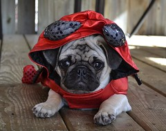 Boo The Devil Pug (DaPuglet) Tags: pug pugs dog dogs puppy puppies pet pets animal animals devil costume halloween cute funny