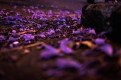 Purple rain. 300/366 (jenniferdudley) Tags: australia brisbane nikonphotography nikkor nikond750 nikon purplerain jacaranda purpleflowers flowers purple 26oct16 day300366 366the2016edition 3662016