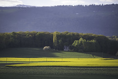 remember spring (mamuangsuk) Tags: spring printemps primavera colza rapeseed yellow blooming sidelight nature countryside jura 6d ef135f2lusm mamuangsuk