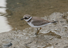 Juvenile Ringed Plover---- Charadrius hiaticula (creaturesnapper) Tags: waterbirds birds waders europe barbate spain ringedplover juvenile charadriushiaticula charadriiformes