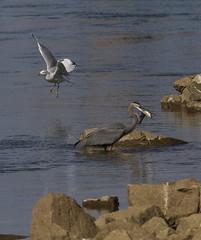 Great Blue Heron grabs a meal! (AllHarts) Tags: greatblueheron kentuckydam tennesseeriver gilbertsvilleky naturescarousel ngc npc