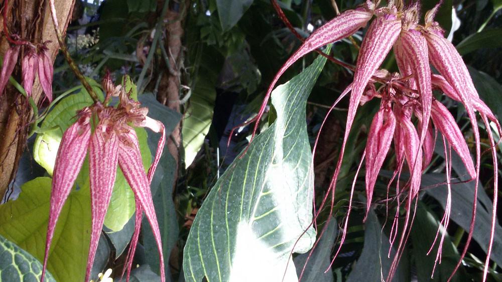 Bulbophyllum Ann Buckleberry- MNHN  (4)