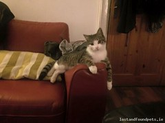 [Reunited] Sat, Nov 5th, 2016 Lost Male Cat - Rialto St.  -  Cottages, Rialto, Dublin (Lost and Found Pets Ireland) Tags: lostcatrialtostcottagesdublin lost cat rialto st cottages dublin november 2016