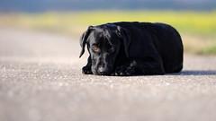 completely flat (uwe.kast) Tags: labrador labradorretriever labradorredriver hund dog welpe puppy nikon nikond3 d3 bokeh
