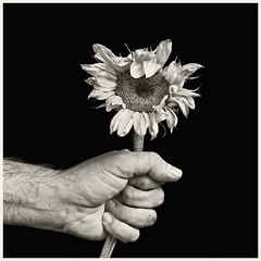 Hand & Sunflower 2016 #3: Ecology (hamsiksa) Tags: hand mano main grasp mannature environment ecology studio studioshot blackwhite plant flora vegetation flower blossom sunflower helianthus metaphor