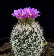 Escobaria hesteri ssp. grata VM 545 (clement_peiffer) Tags: escobaria hesteri ssp grata vm 545 d7100 105mm nikon cactus fleurs flower cactaceae succulent peifferclement flowerscolors