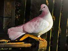 Pink (Steve Taylor (Photography)) Tags: pink bird pigeon white brown wood newzealand nz southisland canterbury christchurch willowbank wildlifereserve shadow winter sunshine sunny dove