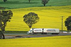 Amongst the canola (Bingley Hall) Tags: australia newsouthwales nsw travel transport transportation vehicle road truck semitrailer roadtrain bdouble canola scenery field