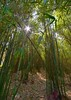 Gulucun - Bamboo Grove (cnmark) Tags: china guangxi province gulucun village dorf wald forest bambus bamboo dschungel jungle nature green plants 东古路 古路村 中国 广西 竹 ©allrightsreserved