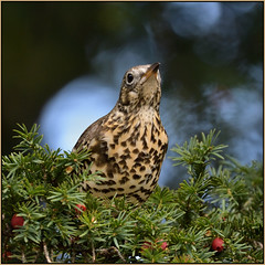 Song Thrush (image 1 of 4) (Full Moon Images) Tags: rspb sandy lodge thelodge wildlife nature reserve bedfordshire yew tree berry bird song thrush