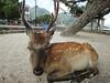 Nara Deers (Coto Language Academy) Tags: nihongo japanese japan jlpt katakana hiragana kanji studyjapanese funjapanese japonaise giapponese japones japanisch 日本 japaneseschool cotoacademy deer nara
