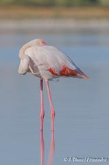 Tranquilidad y sosiego (Dani (Atrus)) Tags: flamenco flamencocomn phoenicopterusroseus greaterflamingo jdanielfernndez elrincndelosprotegidos aves birds fauna espaa spain nikon