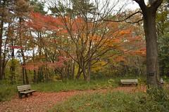 Red Carpet (kzmiz) Tags: nikond800e japan saitama hikigun namegawamachi yamada musashi shinrin koen park