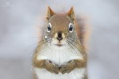 Écureuil roux - Red squirrel - Sciurus vulgaris (Maxime Legare-Vezina) Tags: mammals mammifere nature wild wildlife animal fauna biodiversity winter hiver canon quebec canada