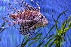 Lionfish Lying (Darts5) Tags: lion lionfish fish fisheye 7d2 7dmarkll 7dmarkii 7d2canon closeup canon7d2 canon7dmarkii canon7dmarkll canon upclose ef100400mmlll