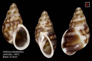 anthinus alboliabiatus2 bresil 31mm8