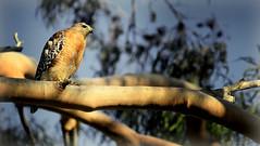 Red-Shouldered Hawk in Eucalyptus tree (Jodi's Journeys) Tags: california ca bird nature outdoors wildlife calif raptor marsh irvine sanjoaquin redshoulderedhawk santuary jodinewell