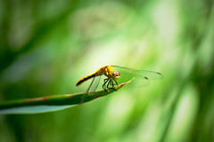 Variegated Meadowhawk dragonfly (heartinhawaii) Tags: summer nature insect colorado dragonflies dragonfly wildlife perched naturephotography odonata libellulidae reddragonfly meadowhawk sympetrumcorruptum insectphotography variegatedmeadowhawk dragonflyphotography nikond3300 coloradodragonfly