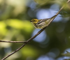 Black-Throated Green Warbler Perched - 1 (Odonata457) Tags: county green mt unitedstates howard maryland dendroicavirens woodstock pleasant warbler conservancy blackthroated