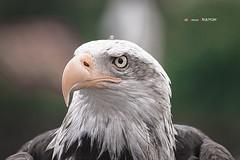 Águila calva (Jabi Artaraz) Tags: zb cabárceno águila euskoflickr águilareal jartaraz