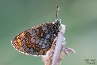 Wegerich-Scheckenfalter - Melitaea cinxia