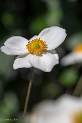 2015 Japanese anemone #2 (Yorkey&Rin) Tags: autumn macro japan october olympus  kanagawa  rin kawasaki  inmygarden 2015 japaneseanemone em5 olympusm60mmf28macro  pc237710