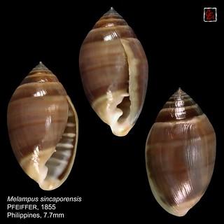 melampus sincaporensis 5 philippines 7mm7