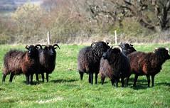 Baa, Baa, Black Sheep, Have You Any Wool? (antonychammond) Tags: greatbritain england sheep isleofwight nationaltrust nurseryrhyme ruby3 baabaablacksheep hebrideansheep naturethroughthelens saariysqualitypictures ruby10 naturesplus