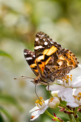 Painted Lady Butterfly (aussiegall) Tags: butterfly bug garden spring blossom paintedlady
