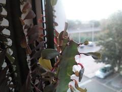 Euphorbia trigona f. rubra (hug0ncalves) Tags: flowers cactus plants flores portugal private photography succulent plantas close details collection euphorbia setubal fotografia cactos collector suculenta colecionador trigona colecao redform euphorbiatrigonafrubra