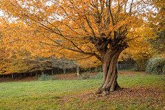 Ttard torsad flamboyant (Cidpix) Tags: autumn france tree nikon puisaye d3200