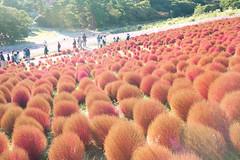 20151025-DS7_6643.jpg (d3_plus) Tags: park street sky plant flower nature japan nikon scenery angle hill wideangle jr daily flowerbed bloom  amusementpark streetphoto    dailyphoto  ibaraki  thesedays flowergarden     superwide     a05   tamronspaf1735mmf284dildasphericalif kochia tamronspaf1735mmf284dildaspherical d700  nikond700 tamronspaf1735mmf284dild tamronspaf1735mmf284