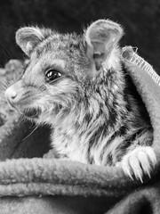 Zeb in a pouch! (simon.colebrook) Tags: possum rescue baby cute animal native perth omd zeb nar em10